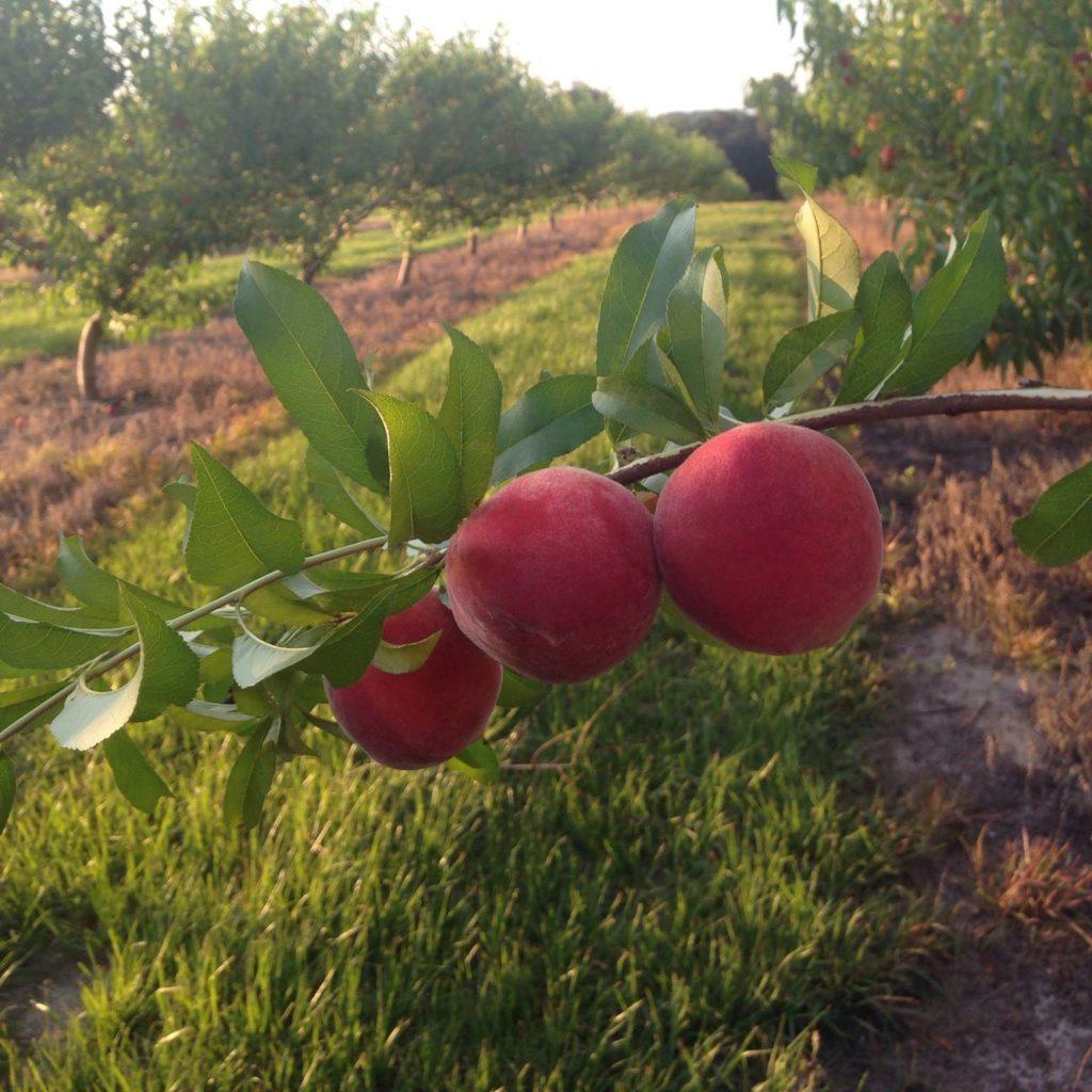 Florida Sweeties U Pick Peaches.jpg