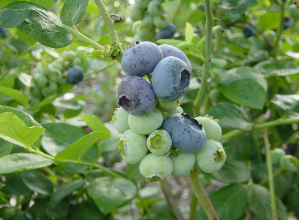 Lonesome Oak Blueberry Farm.jpg