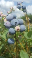 Late Bloom Blueberry Farm.jpg
