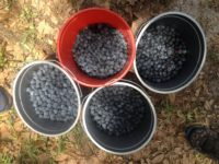 Kirkland Farms Blueberries.JPG