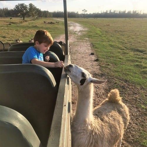 Safari Wilderness Lakeland feed a llama