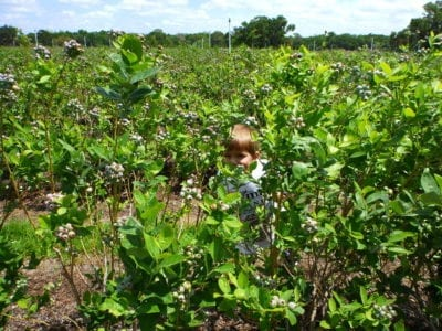 U Pick Blueberries Lakeland Florida (7)