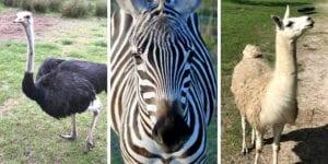 Drive-Thru Safari Lakeland